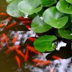 豊かさ,希望,運気を意味する「金魚」の夢占い18診断