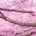 恋の予感,始まりを意味する「桜」の夢占い9診断